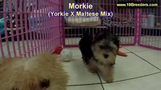 Morkie, Puppies, For, Sale, In, Newark, New Jersey, Nj, Woodbridge, Iselin, Pleasantville, Roselle,