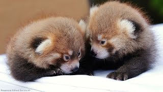 Cute baby animal alert! Zoo welcomes twin red panda cubs