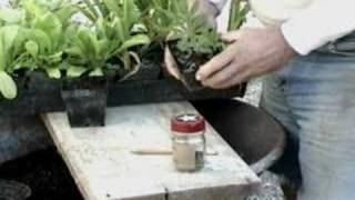Horticulture - Lupines