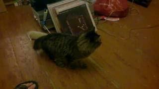 Кот и куница