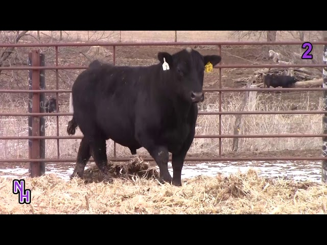 New Haven Angus Lot 2