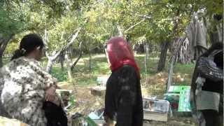 Kashmir apple garden-gk