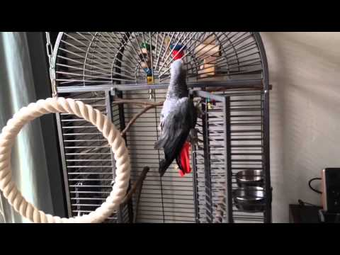 Welcome Home Pippi (African Grey Parrot)