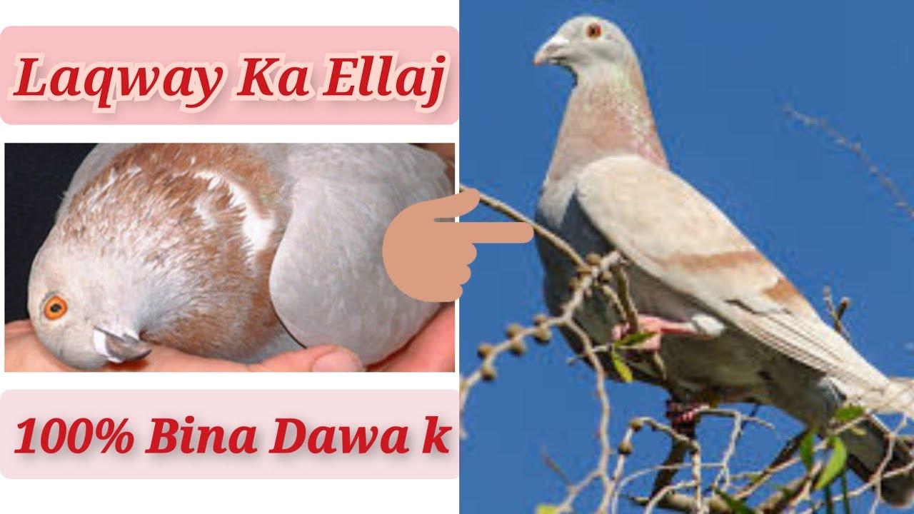 Download Laqway ka Shartia Ellaj Bina Dawa/Medicine k - Laqway Jholay ka 100% Ellaj - Karachi Pigeons