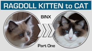 Kitten to Cat Compilation  Cute Ragdoll Binx (Part One: from 0 to 5 months)