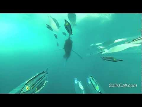 Underwater Video Of A Pacific Sailfish Attacking A Teaser Aboard The SailsCall, Costa Rica Fishing.