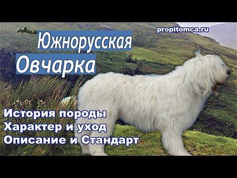 Южнорусская овчарка: интересные факты. История и описание породы