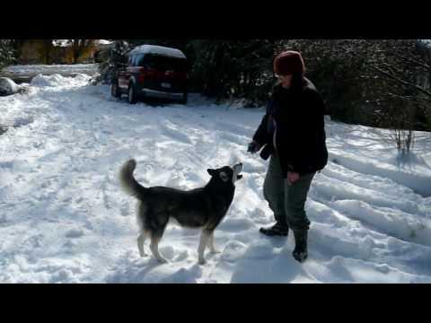 Our Siberian Husky enjoying the snow.