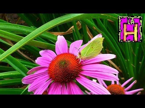Echinacea purpurea doovi - Trapianto camelia ...