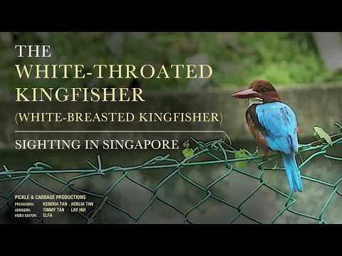The White-Throated Kingfisher (Halcyon Smyrnensis) / White-Breasted Kingfisher