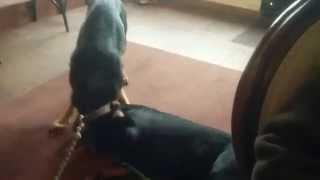 German Shepherd Vs Rottweiler (friendly Fight)