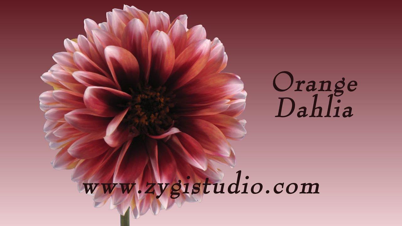 Time lapse of opening orange dahlia flower youtube time lapse of opening orange dahlia flower izmirmasajfo