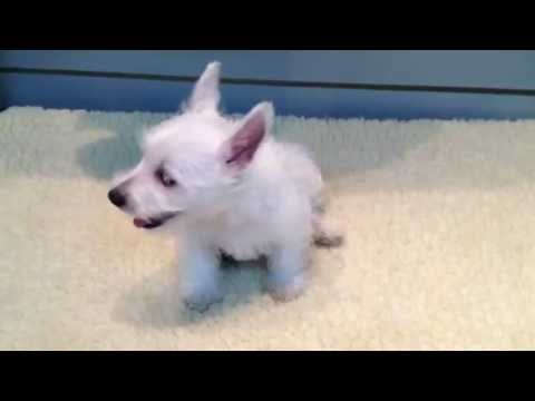 West Highland White Terrier Puppies for sale (Empire Puppies)
