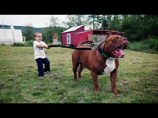 """Hulk"" The Massive Family Pit Bull"