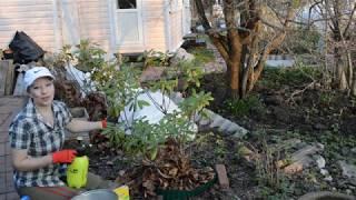 Рододендроны весной: секреты ухода