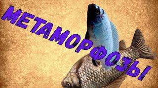 Метаморфозы в аквариуме 280 литров. Псевдотрофеус Полит (Pseudotropheus polit) / Цихлида Полит
