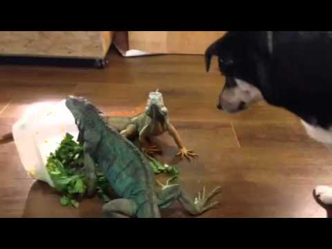 iguanas dont care about dog