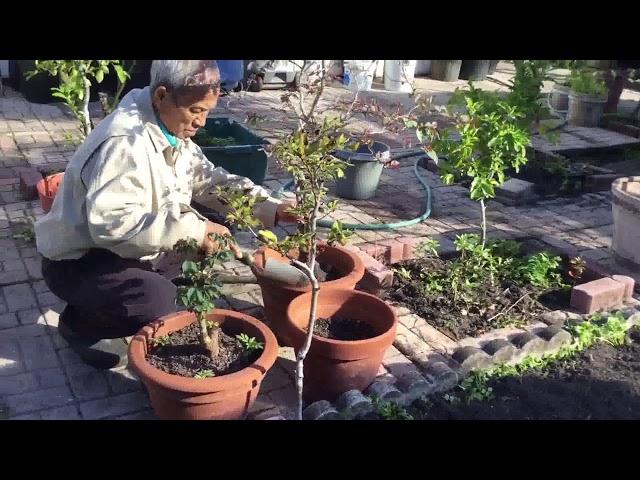 Vô chậu cây BÔNG GIẤY, tham quan chung quanh sau nhà (bông xoài, chuối lá,new garden bed,rau má,mít)