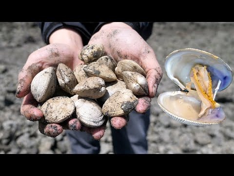 Absolute Beginner's Guide to Clamming & How to make New England Clam Chowder