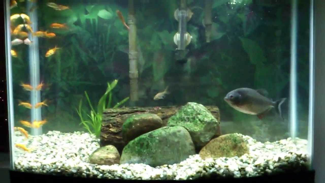5 Red Belly Piranha In 28 Gallon Freshwater Aquarium Youtube