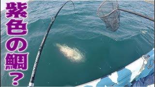 紫色の鯛?貸し船で巨大魚が釣れた!