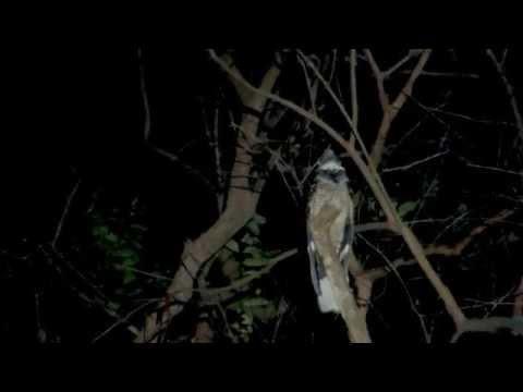 Large-tailed Nightjar calling (09Mar2014)