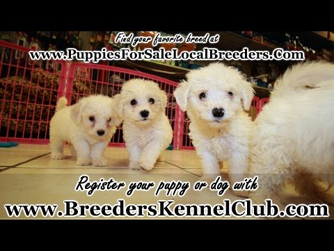 BICHON FRISE PUPPIES FOR SALE IN GEORGIA FROM LOCAL BREEDERS
