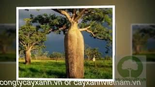 Cây Bao Báp Adansonia - Trồng và mua bán cây bao báp - congtycayxanh.vn