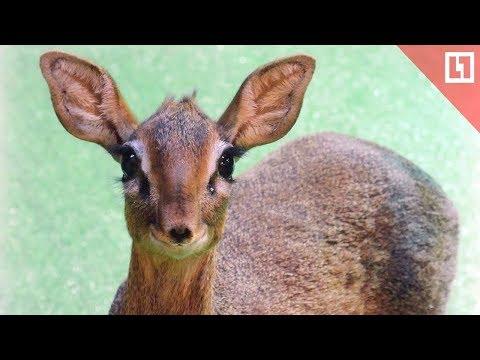 Вопрос: Как называется детеныш джейрана, газели, лани, антилопы?
