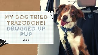 My dog tried TRAZODONE! Drugged up Pup|VLOG|
