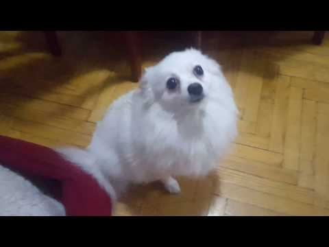 Guilty German Spitz: Lana's CALL OF NATURE in the middle of the room!