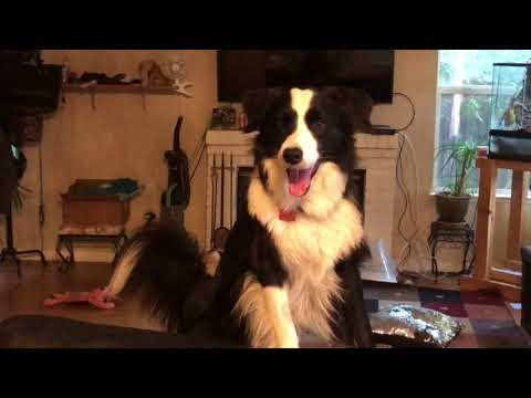 Funny border collie Benji wants his owners to pick up his toy
