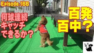 何球連続キャッチできるか?やってみました。 おもしろ可愛い犬・アンポ...