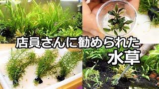 水草メンテナンス【店員さんに勧められた水草達】 thumbnail