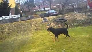 Cheddar Gustav Og Pinnen Rottweiler/boxer Mix Christmas Tree