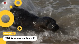 Zwarte zeehond Melanie weer terug in zee