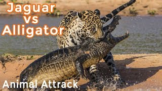 [Animal Comparison 2018] Jaguar vs Alligator Is a Battle Between Two Predators thumbnail
