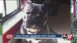 Pricey French bulldog recovered after being taken from a Tampa man at gunpoint in Town 'n Country