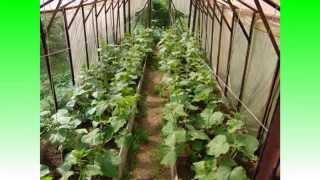 Выращивание огурцов в теплице(Выращивание огурцов в теплицах и парника http://parniki.biz/, 2014-05-26T14:22:49.000Z)