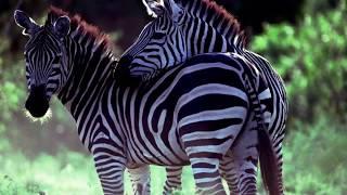 животные Африки-ЗЕБРА позновательный фильм