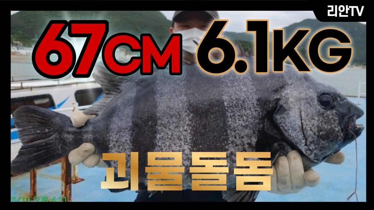 괴물돌돔 67CM, 6.1KG 매물도 돌돔낚시 (국내 개인기록갱신)