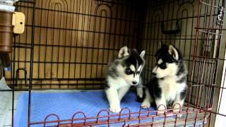 シベリアンハスキーの子犬です。 離乳食もモリモリ食べて、 ブリーダー...