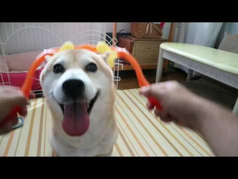 柴犬小春 【催促】ダブルゲルマで首筋マッサージにうっとりな柴犬 massage
