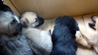 six puppies abandoned on a road in romania
