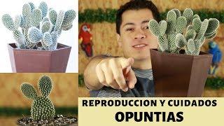 REPRODUCE Y CUIDA PERFECTAMENTE LAS OREJAS DE MICKEY || OPUNTIAS
