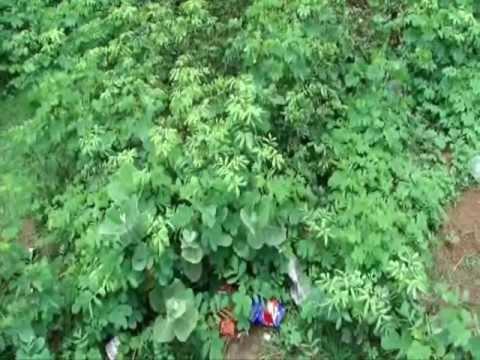 Anti-viral Herbs for Herpes in Pankaj Oudhia