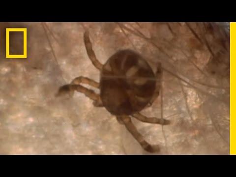 Dangerous Deer Ticks   National Geographic