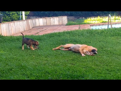 Puppy Playing With Big Dog Does a Flip