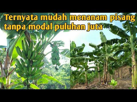 Ternyata mudah menanam pisang ini tanpa modal puluhan juta!