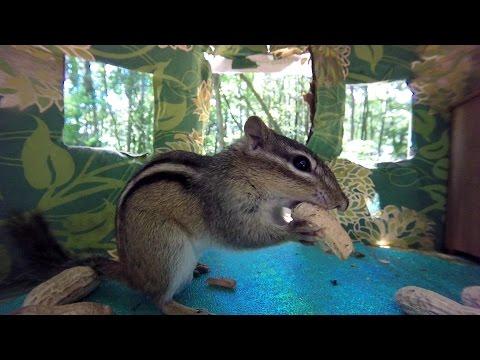 Lunch House (chipmunk & Grey Squirrel)